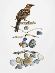 'I collect to impress the girls' Greater Bowerbird Sticks and Stones  46 x 62 cm watercolour